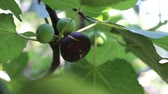 adam : Ripe common figs and fig leaves. Dark and green figs. Fig tree with dark fruits. Black Mission Figs