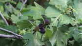 figa : Fig tree with dark fruits. Black Mission Figs. Ripe common figs and fig leaves. Dark and green figs