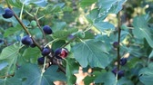 adam : Fig tree with dark fruits. Black Mission Figs. Ripe common figs and fig leaves. Dark and green figs
