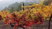 vinná réva : Autumn in the vineyard, fall foliage. Vines With Fall Flair