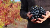 vinařství : Winegrower holding red wine grapes in his hands. A vigneron. The Grape Harvest. Autumn