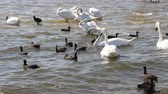 kachňátko : Migratory birds - swans. Swan Lake near the town of