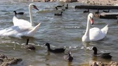 kachňátko : Wildlife Waterfowl Birds Swans and Ducks On Lake Background. Swan Lake near the town of