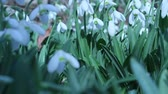 beginnings : Snowdrops Flowers in a sunny spring day. Honeybee pollinates snowdrops