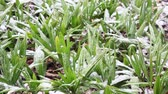 drzewko : Green Seedlings In The Snow Wideo