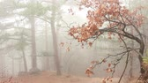 скотч : Misty Forest. Scotch mist. Woods in autumn mist with leaves fallen on floor