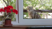 герань : Cat Begs To Let In The House
