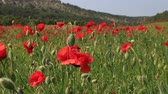 pola : Red Poppies On The Green Field