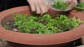 small bowls : Close-Up Of Hand Picking Homegrown Herb - Plucking Fresh Parsley Stock Footage