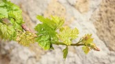 vine branch : First Green Vine Leaves Stock Footage
