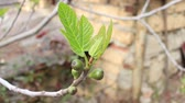 adam : Spring Leaves and unripe fruit on common fig tree