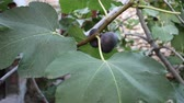 voar : Leaves and mature fruit of common fig Stock Footage
