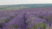 provence : The Lavender Fields. Sammer Lavender plantation Stock Footage