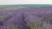herb : Lavender bushes. Lavender season in Provence