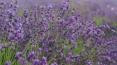 Closeup Of Lavender Plants In A Field. Lavender season in Provence