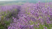 ceo : lavender fields in France. Lavender season in Provence Stock Footage