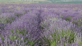 lavender fields in France. Lavender season in Provence Archivo de Video