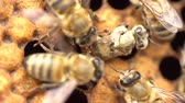méhkas : Honeybee emerging from cell. 21 days after the queen has laid an egg in the cell, the fully developed young bee chews through the wax cap and emerges out of her cell