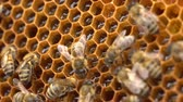 üreme : The bees store nectar in honeycomb cells made of wax. The honey is still a bit wet, so they fan it with their wings to make it dry out and become more sticky