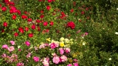 parterre : flowerbed red and pink and yellow flowers