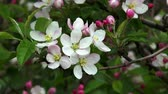 crab apple : Blossoming apple. Branch of apple tree in bloom in the spring.