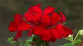 blossoming : Red Petunia flowers