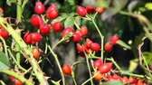 przetwory : Bush with red rose hips among green leaves Wideo