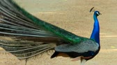 description : Peacock cries and walks in front of camera.