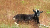 camarões : Cameroonian goat lying in the dry grass and panting.