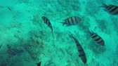 aquarium : Abudefduf and Zebrasoma veliferum swims near coral. Red Sea Fish Stock Footage