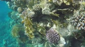 wild : Multicolored corals on reefs. Red sea