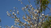 cherry blossom branch : Branch of a blossoming tree against the blue sky.