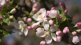 cherry blossom branch : Pink flowers blooming apple trees.