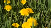 pampeliška : Yellow dandelions among green grass.