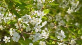 florescence : Cherry blossom branch. Blooming cherry Stock Footage