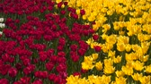 florescence : Glade of yellow and red tulips. Stock Footage