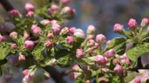 blooming : Pink buds of flowering tree. Stock Footage