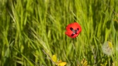 Red poppy flower. Among the green grass Stock Footage