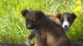 дворняжка : Two homeless puppies on a background of green grass.