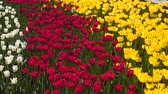 nombreux : Glade with multicolored tulips. White, red and yellow tulips