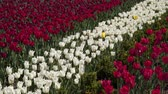 nombreux : White and red tulips. Glade with colorful tulips