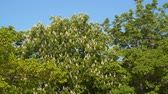 couleur : Blooming chestnut tree. Spring sunny day