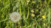 chmýří : Dandelion flower in meadow. Dandelion seeds head in field.
