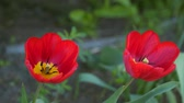tallo : Red tulip flowers. Natural background