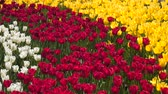 tallo : White yellow and red tulip flowers. Natural background