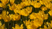 букет : Yellow tulip flowers. Natural background Стоковые видеозаписи