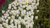 tallo : White tulip flowers. Natural background