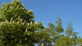 vibrante : Blooming chestnut tree. Against the blue sky Vídeos