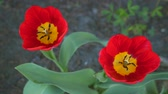 tallo : Two red tulips close up.