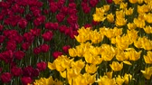 tallo : Field of red and yellow tulips.